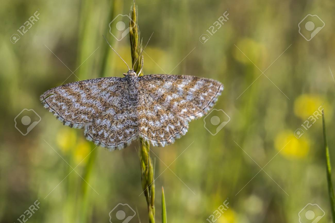 A lewes moth is sitting on a grass-stock Stock Photo - 81272975