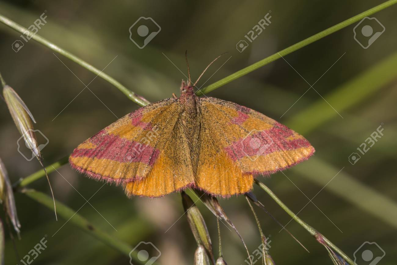 A purple-barred yellow is sitting on a grass-stock Stock Photo - 81272974