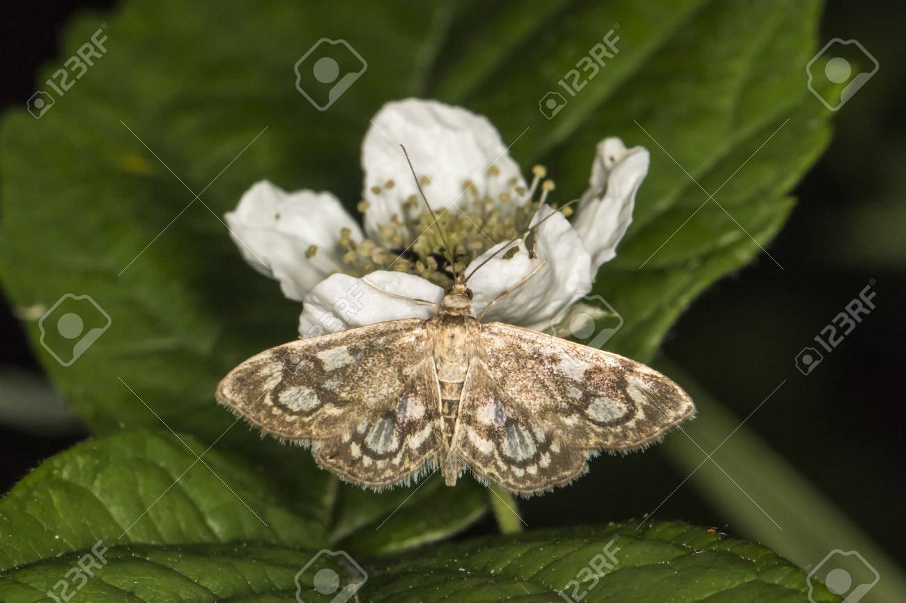 A crowned phlyctaenia moth suckles on a white flower Stock Photo - 81272976