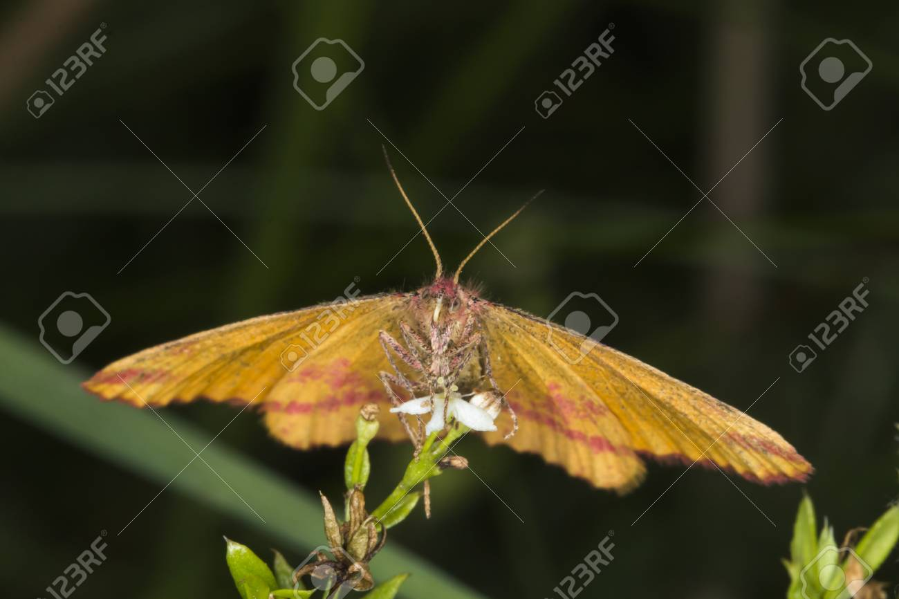 A purple-barred yellow is sitting on a grass-stock Stock Photo - 81273042