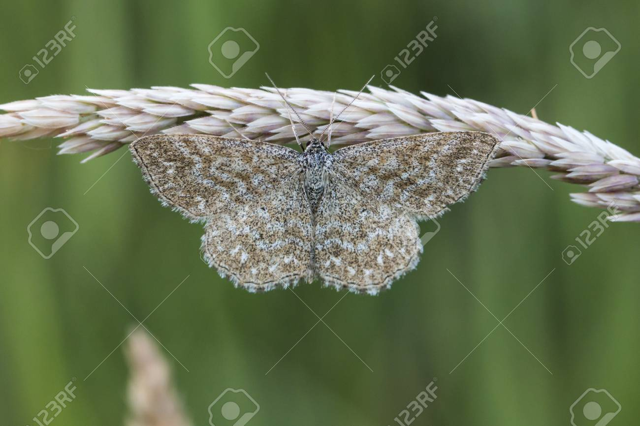 A lewes moth is sitting on a grass-stock Stock Photo - 81273052