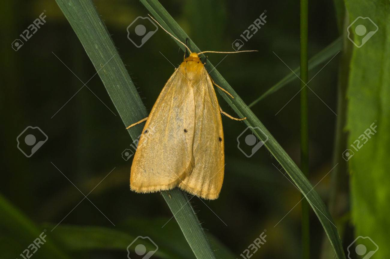 A four-dotted footman is sitting on a grass-stock Stock Photo - 81273047