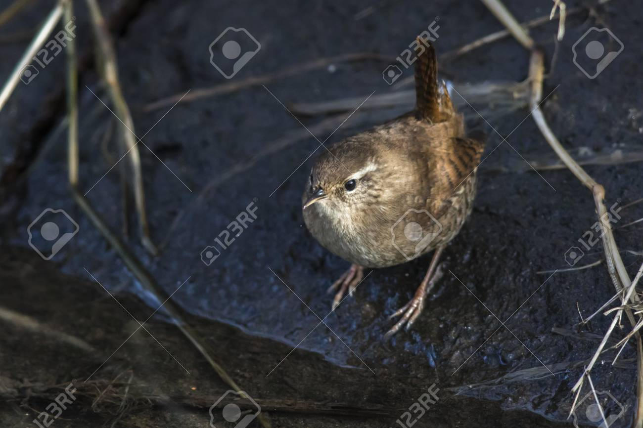 A wren in the shelf on the riverside Stock Photo - 81702080
