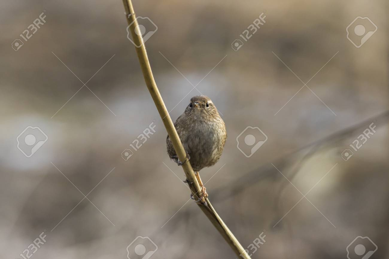 A wren in the shelf on the riverside Stock Photo - 81431918