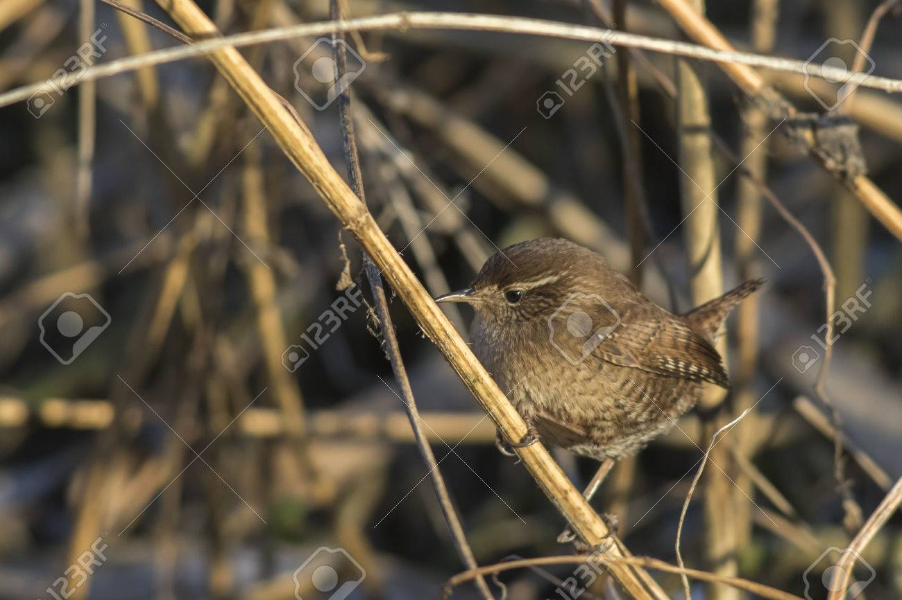 A wren in the shelf on the riverside Stock Photo - 81686918