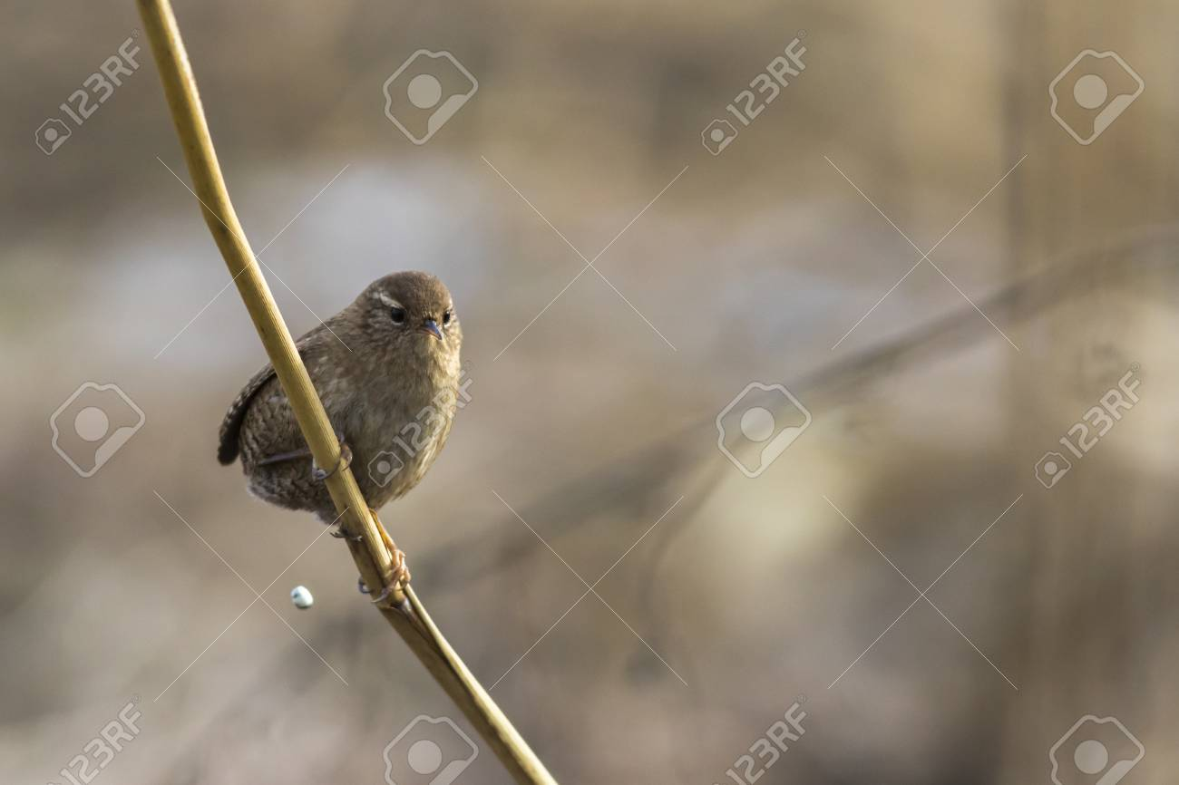 A wren in the shelf on the riverside Stock Photo - 81702921