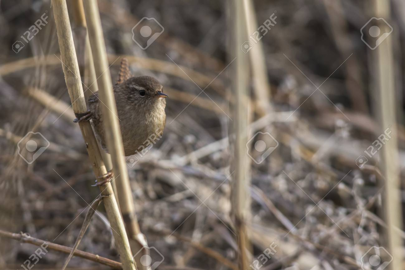 A wren in the shelf on the riverside Stock Photo - 81702081