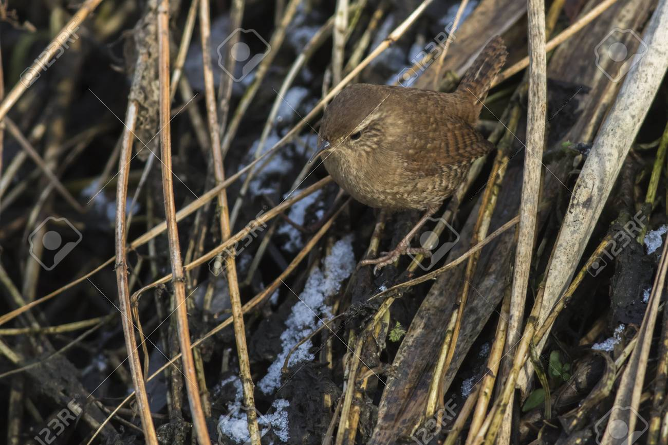 A wren in the shelf on the riverside Stock Photo - 81702564