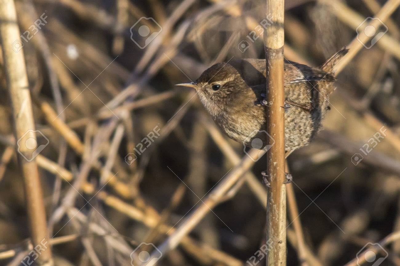 A wren in the shelf on the riverside Stock Photo - 81431628