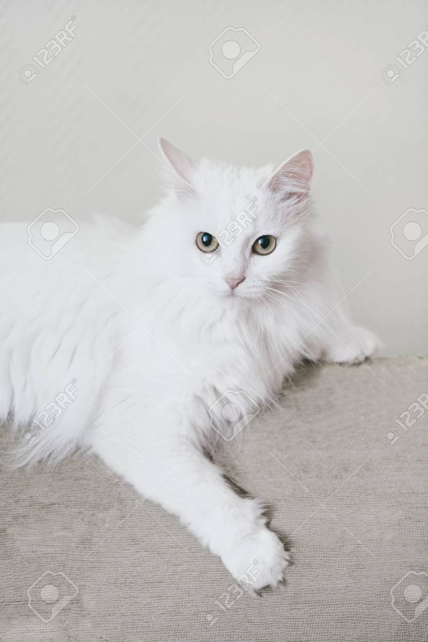 dee7b4c22c Fluffy White Turkish Van Cat Lying On Sofa
