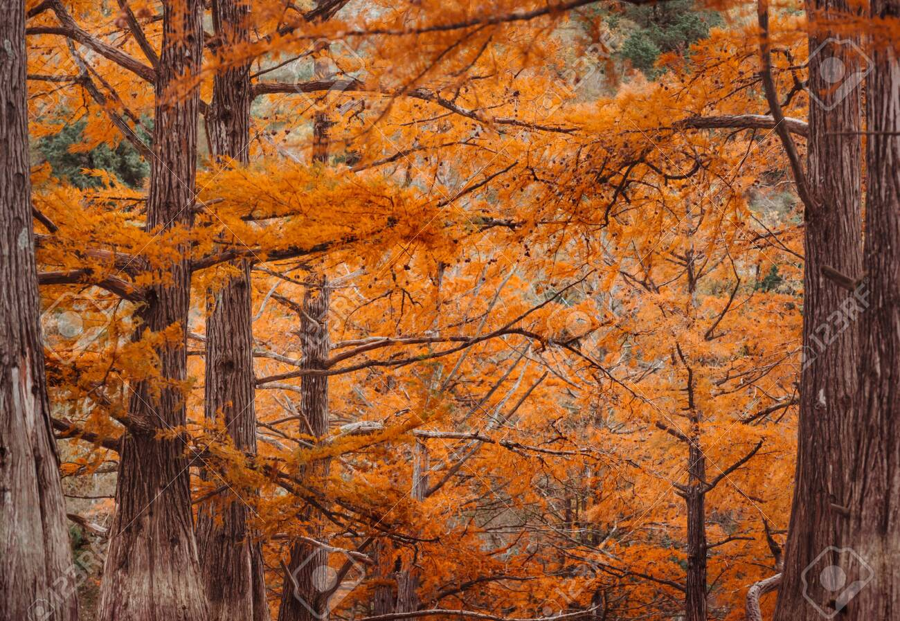 Cypresses trees in autumn season, close-up image, nature background. - 128637976