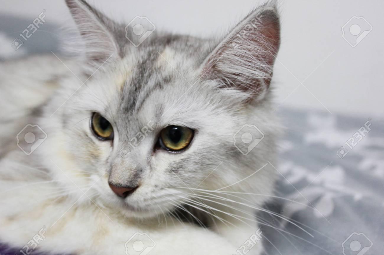 Immagini Stock Bianco E Nero Persiano Più Gatto Maine Coon