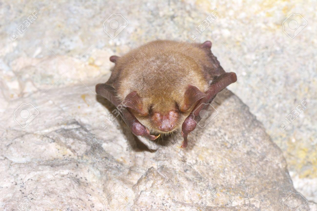 Souris Grimpe Au Mur mouche de souris à oreille de souris (myotis myotis)