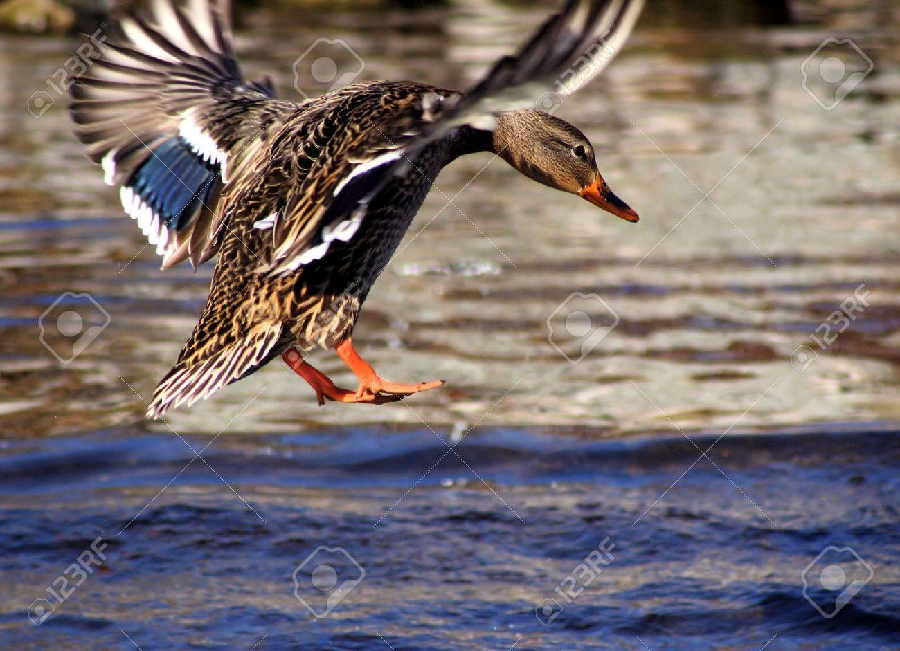 Mallard Duck Landing In Blue Waters Stock Photo - 8270541