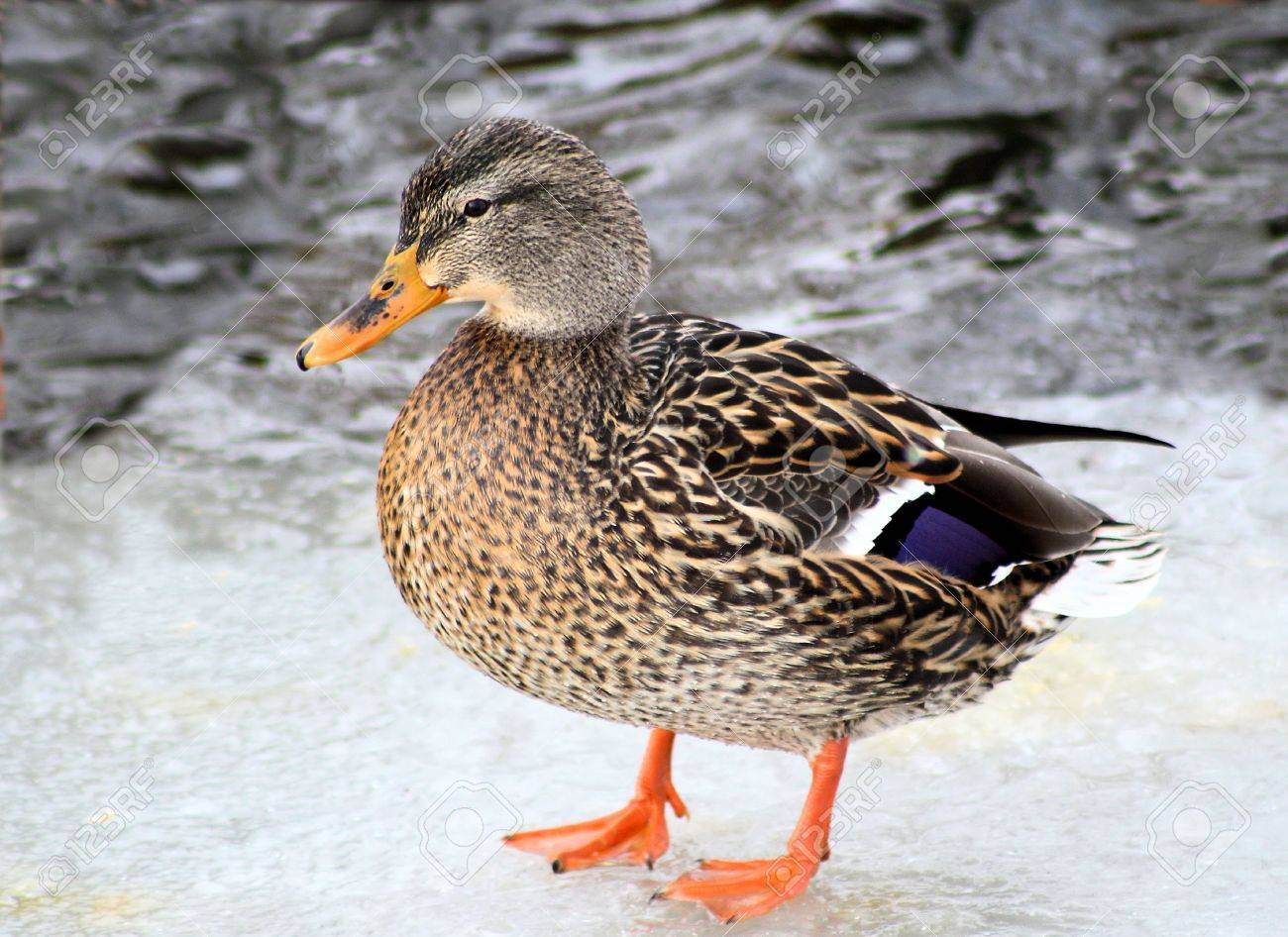 Pretty Mallard Duck Standing On Ice Stock Photo - 8457947