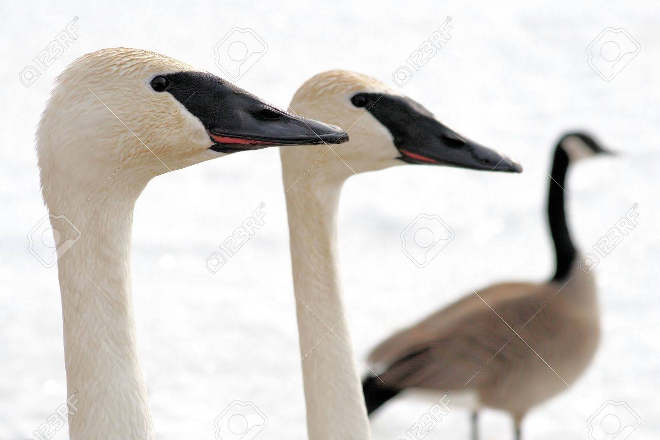 Trumpeter Swan pair with Canada Goose in the background Stock Photo - 9098393
