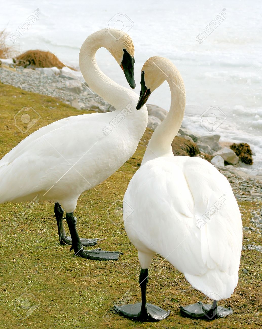 Trumpeter Swans Male And Female Stock Photo Picture And Royalty Free Image Image 9162045 New users enjoy 60% off. trumpeter swans male and female