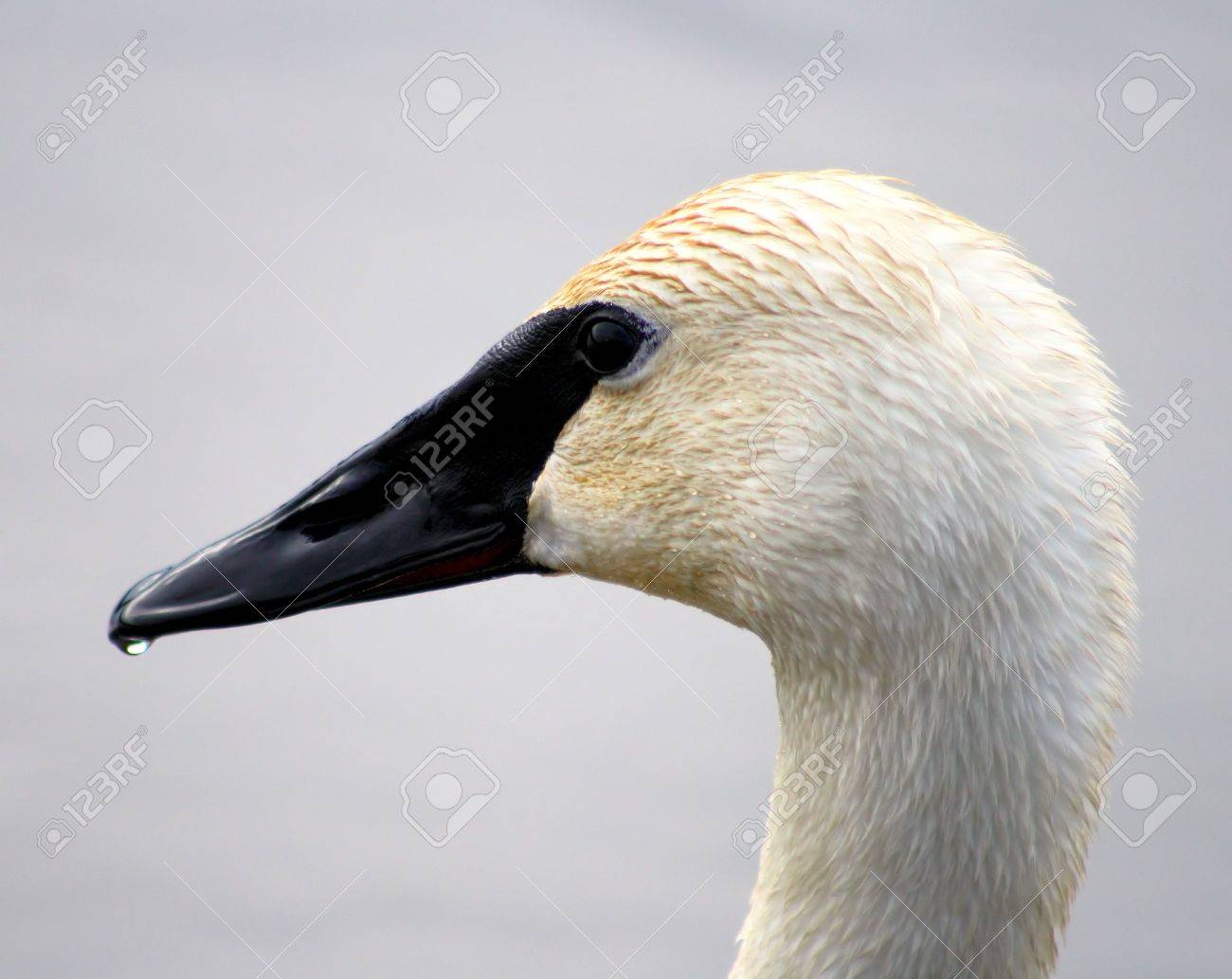 Trumpeter Swan Profile Stock Photo - 9353751