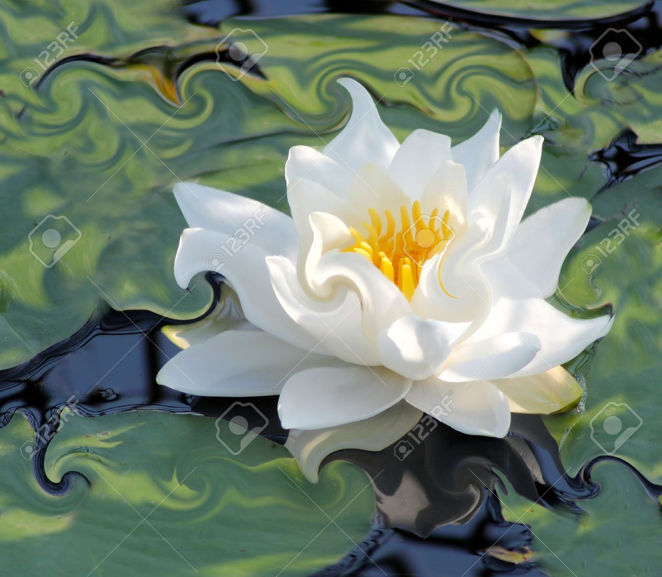 Water Lily  - an abstract Stock Photo - 10051405