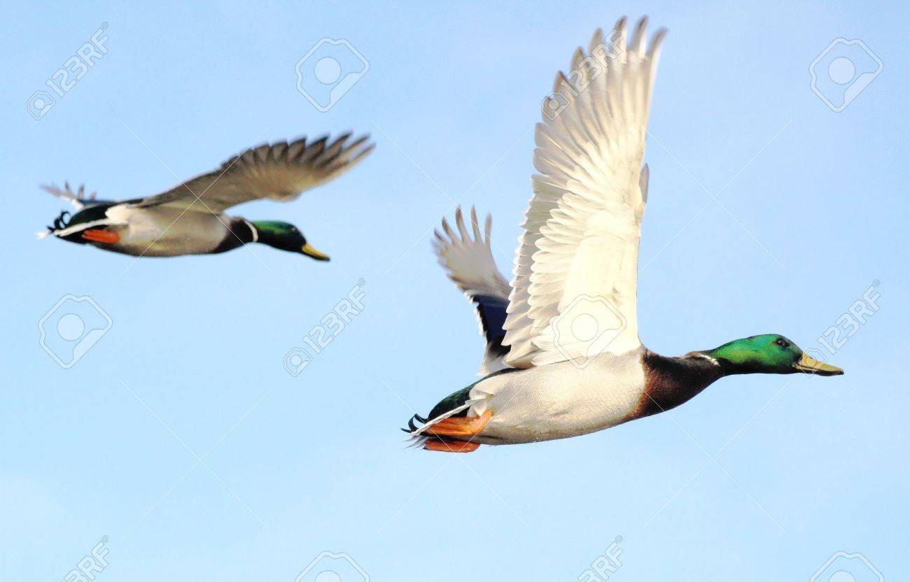 Mallard Ducks In Flight Stock Photo - 11795573