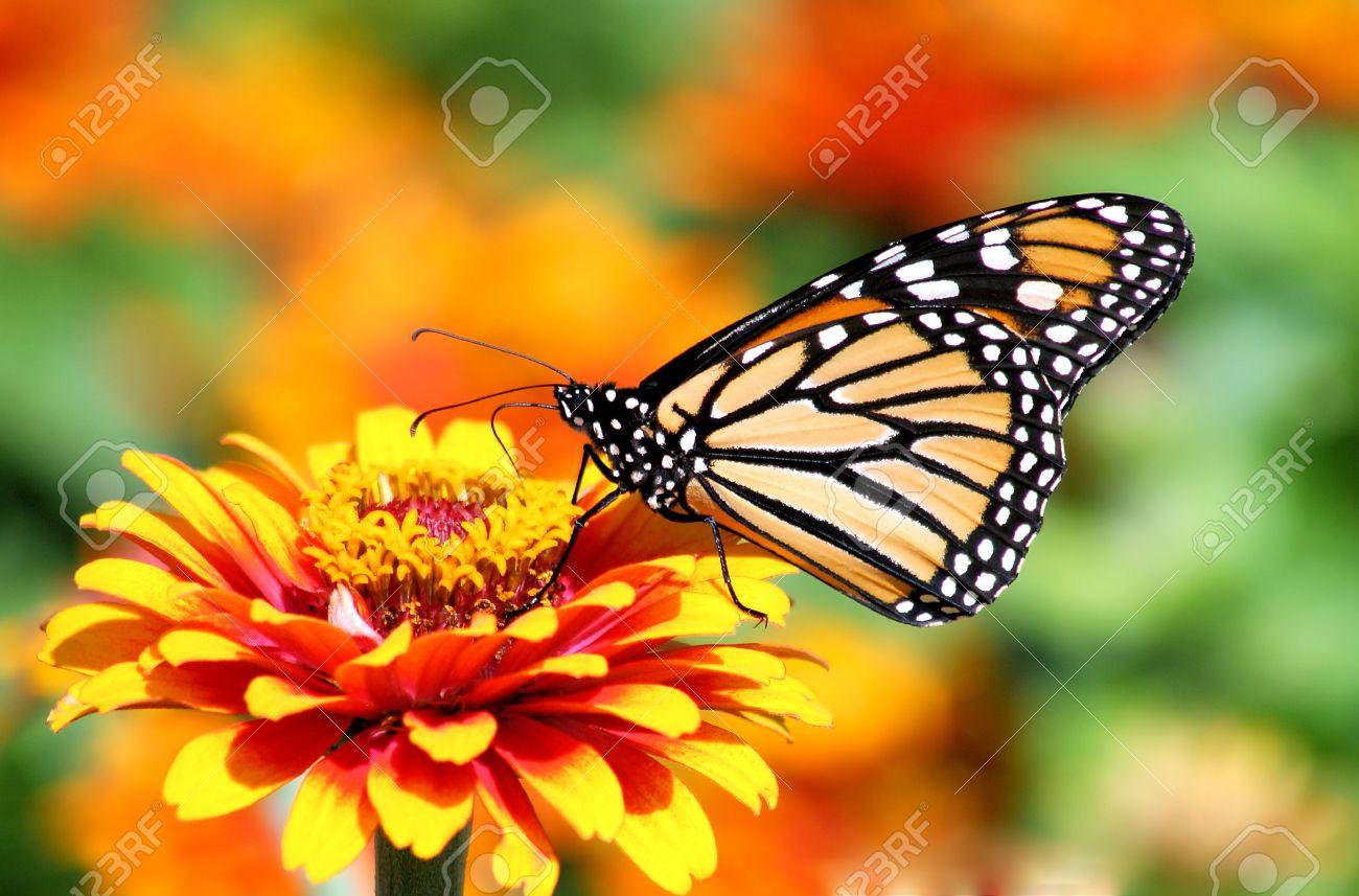 Beau Monarch Butterfly In Flower Garden Stock Photo   15200525