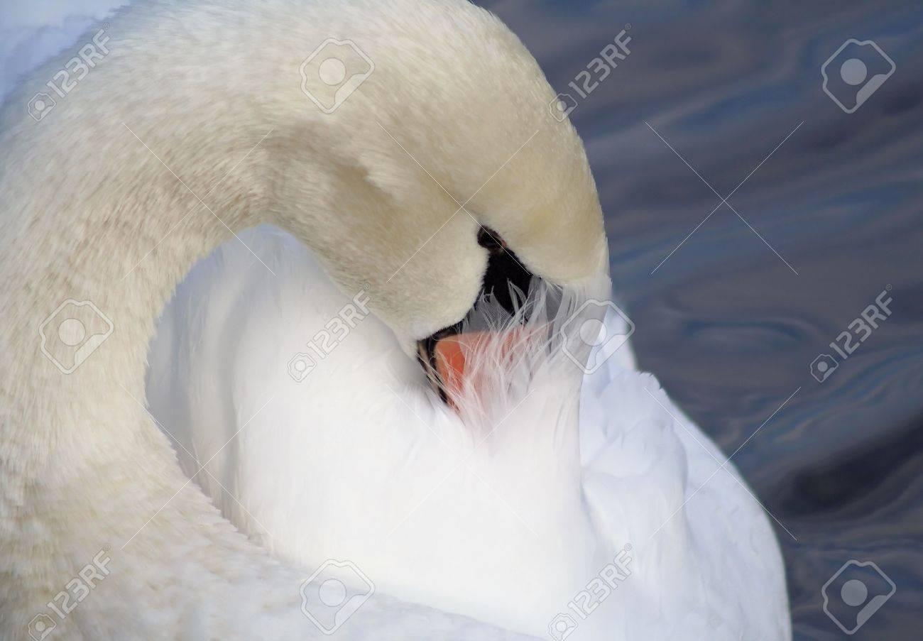 Beautiful Swan Preening Her Feathers Stock Photo - 16971390