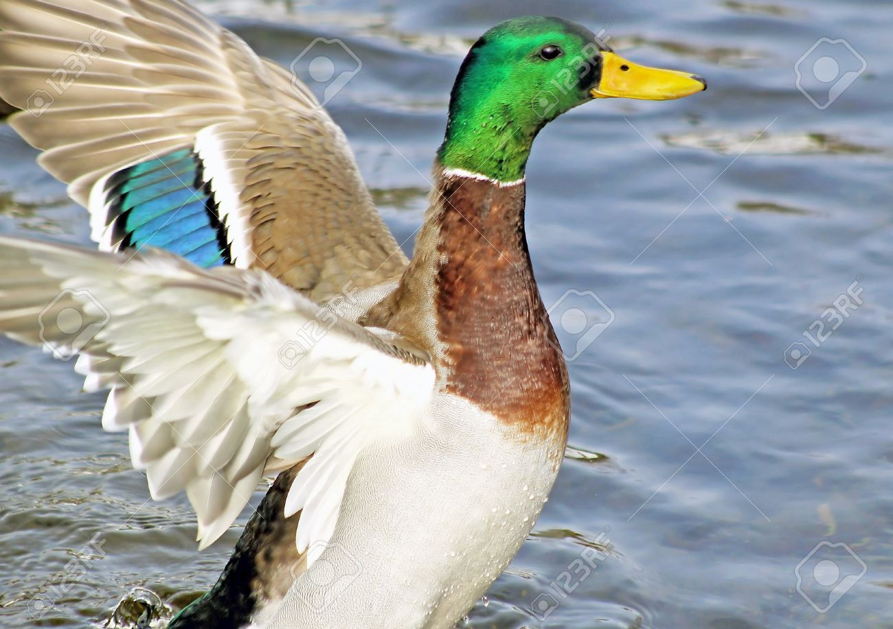Mallard Duck Male - showing his wings and colourful plumage Stock Photo - 18473214