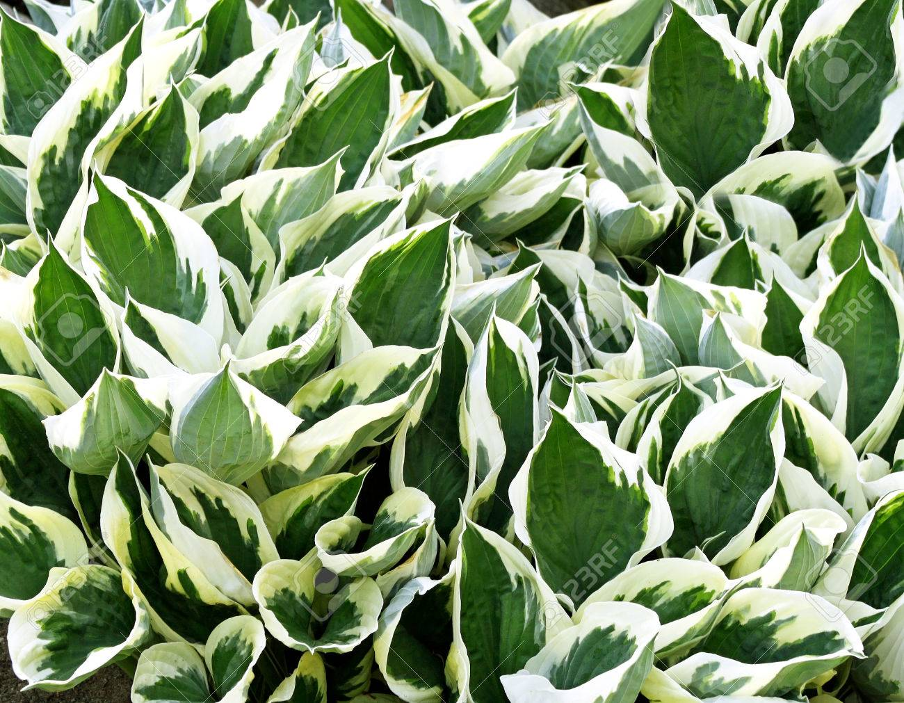 Variegated Green And White Leaves Of The Hosta Plant A Garden