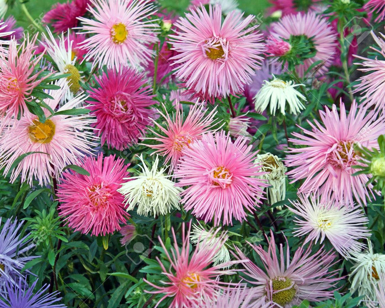 Delicate and dainty blooms in soft pastel colors of the aster delicate and dainty blooms in soft pastel colors of the aster flower a garden perennial mightylinksfo