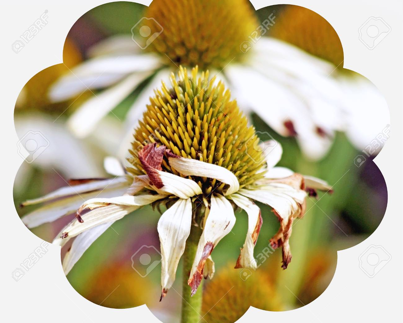 Golden Seeds Of The Cone Flower Plant White Petals Are Withered