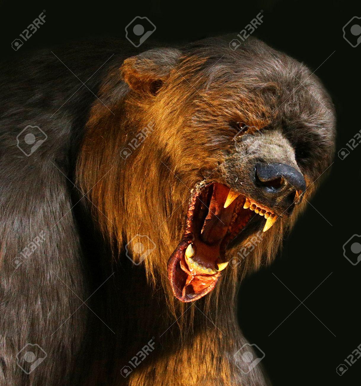 oso grizzly enojado