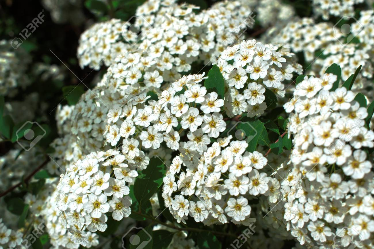 Closeup Of Small White Flowers Stock Photo Picture And Royalty Free