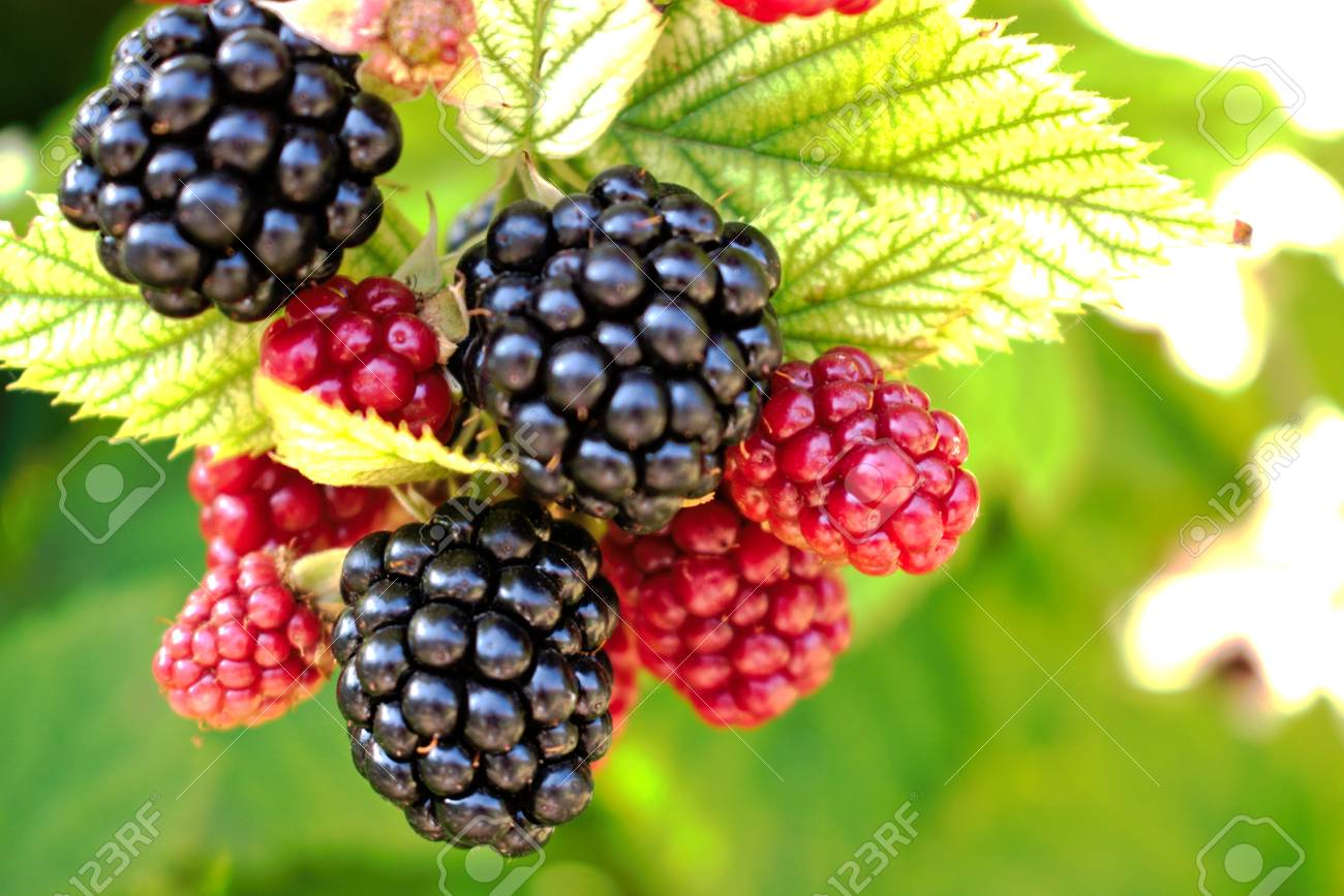 Closeup Of Black And Red Blackberries In The Garden Stock Photo