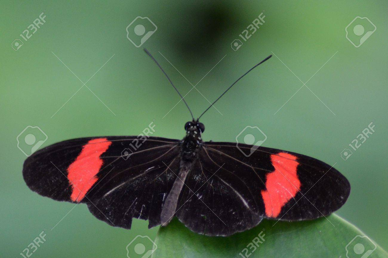 Butterfly With Black/red Wings