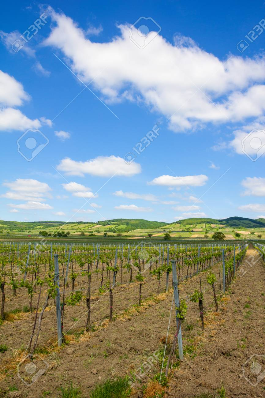 Vineyard In North Burgenland Donnerskirchen near Lake Neusiedl Stock Photo - 40549608