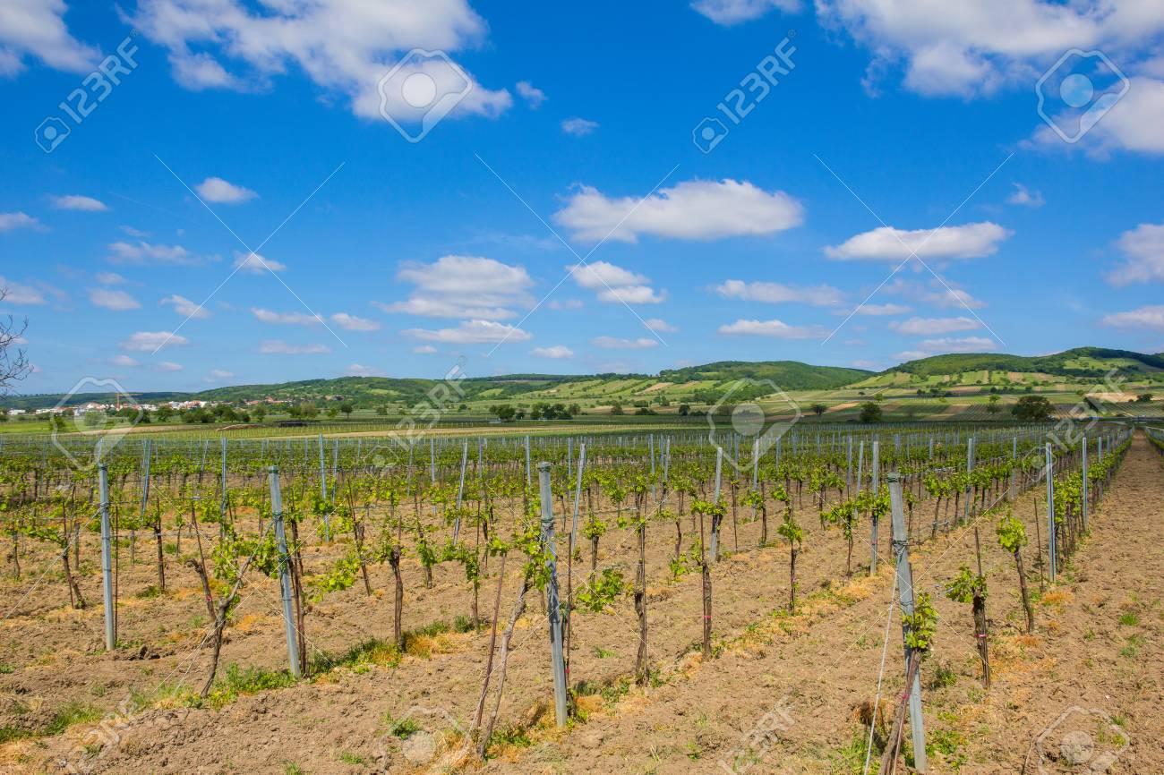 Vineyard In North Burgenland Donnerskirchen near Lake Neusiedl Stock Photo - 40549609