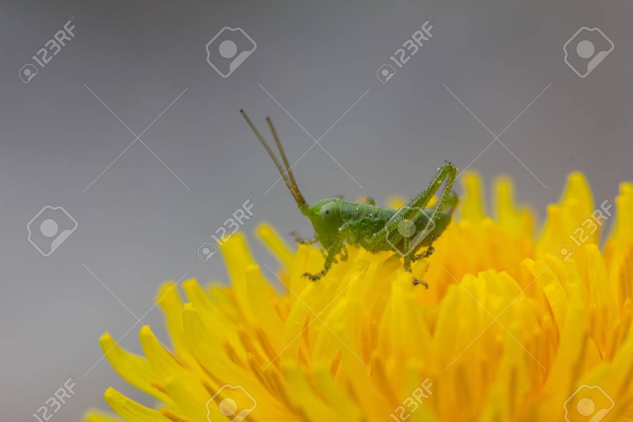 Grasshopper on dandelion Closeup Stock Photo - 40549615