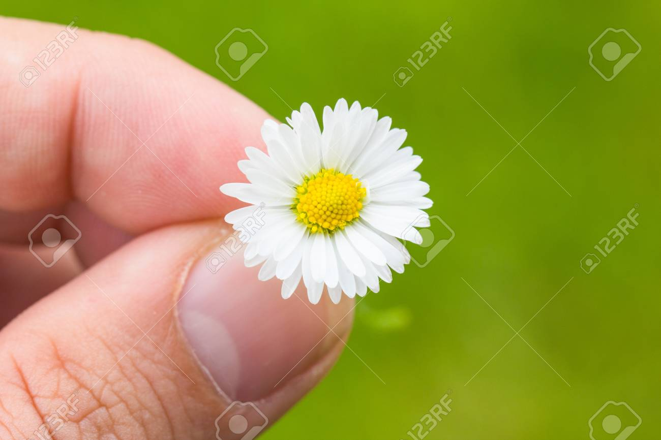 Daisy Between fingers Macro With Green Background Stock Photo - 40548707