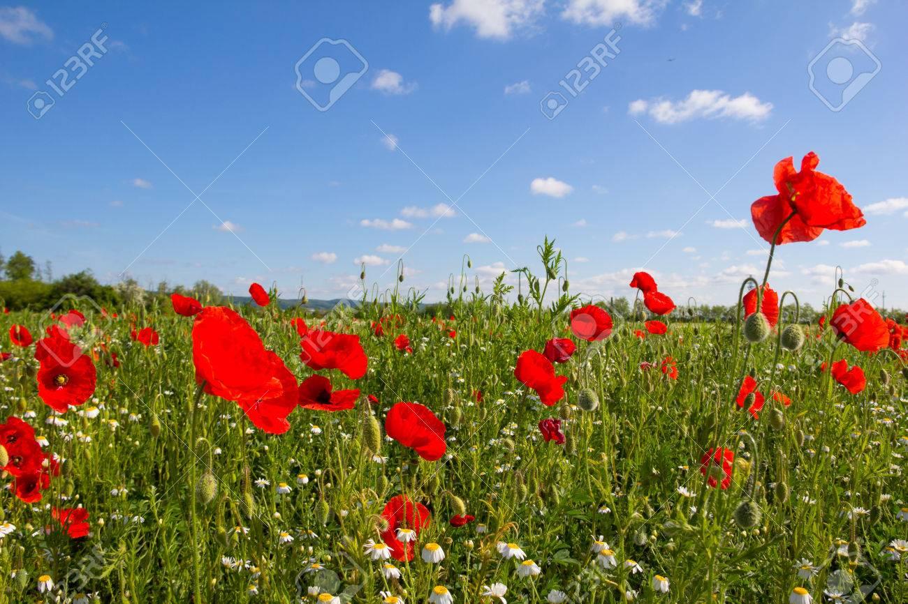 Poppy Field Near Lake Neusiedl in Burgenland Austria Stock Photo - 40549549