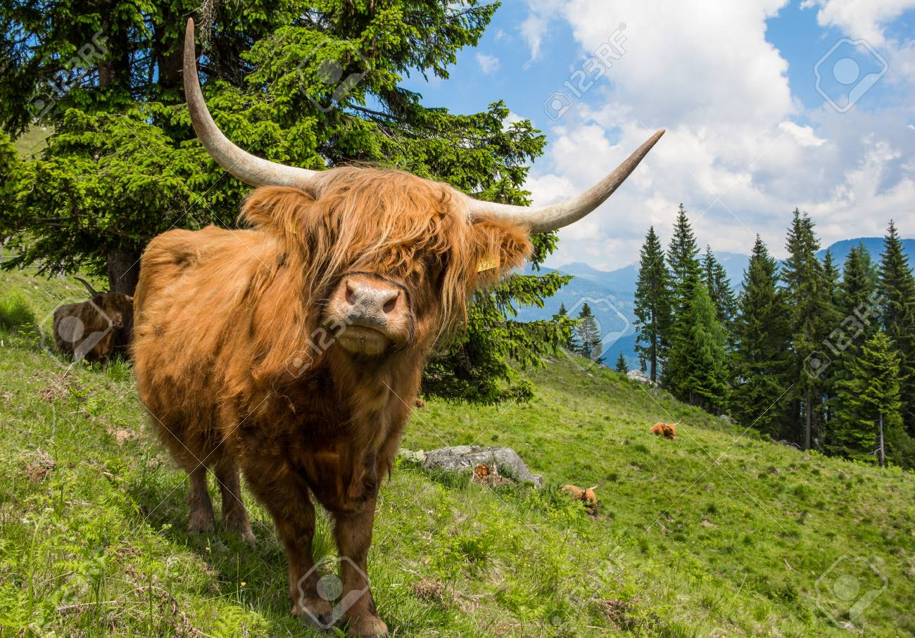 Highland Cattle In The Nocky Mountains Of Carinthia Stock Photo - 59721203