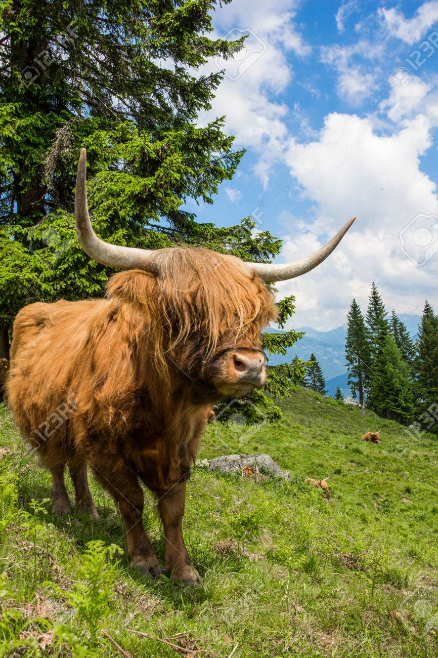 Highland Cattle In The Nocky Mountains Of Carinthia Stock Photo - 59721204