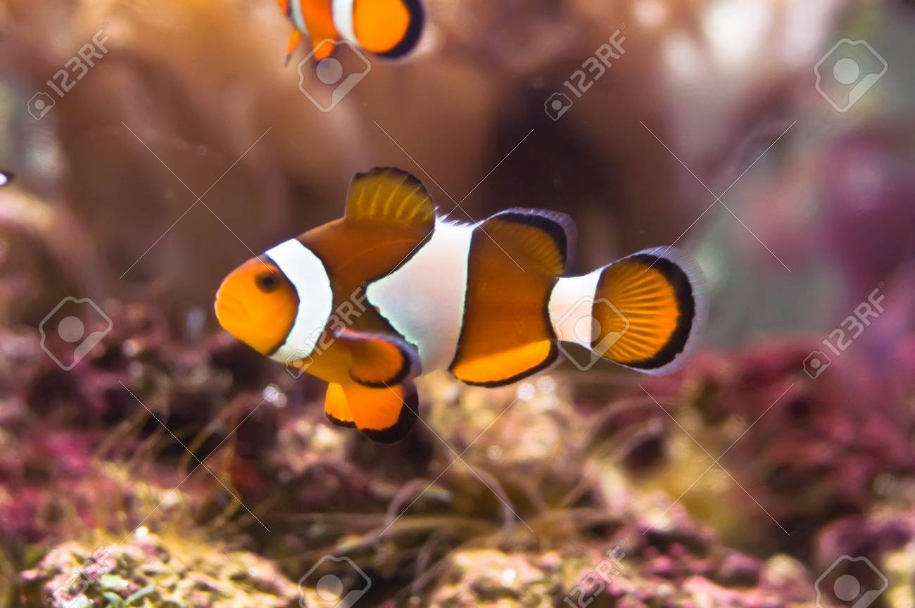Clown fish in the coral reef Stock Photo - 4549039