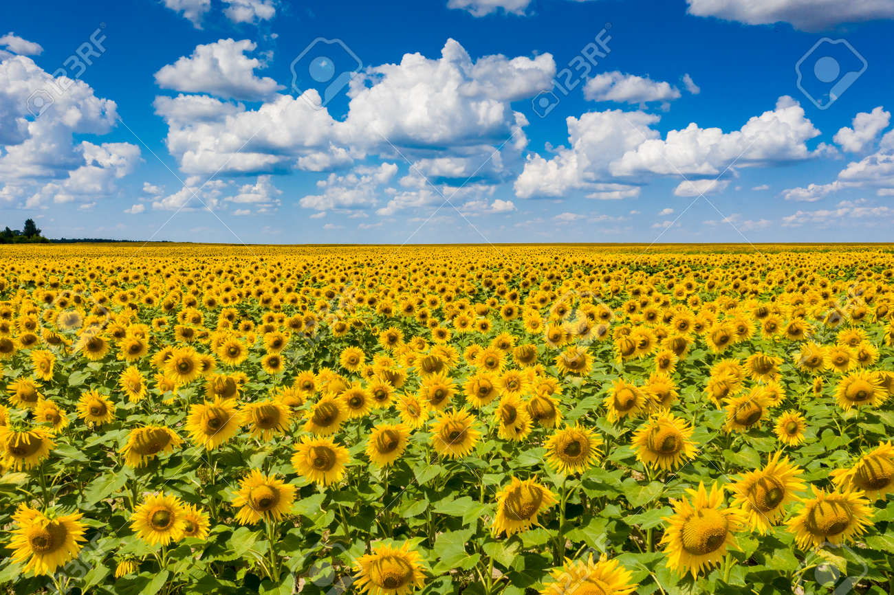 field of blooming sunflowers with blue sky on background - 128959612