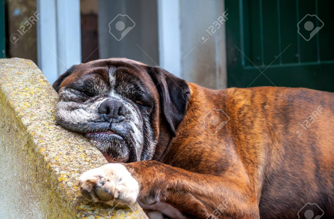 German boxer dog sleeping in the garden with funny face stock photo german boxer dog sleeping in the garden with funny face stock photo 99939262 voltagebd Gallery
