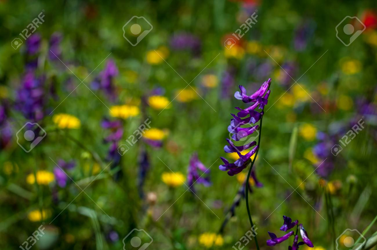 Closeup of tufted vetch in a meadow with yellow and purple flowers closeup of tufted vetch in a meadow with yellow and purple flowers stock photo 103230879 mightylinksfo