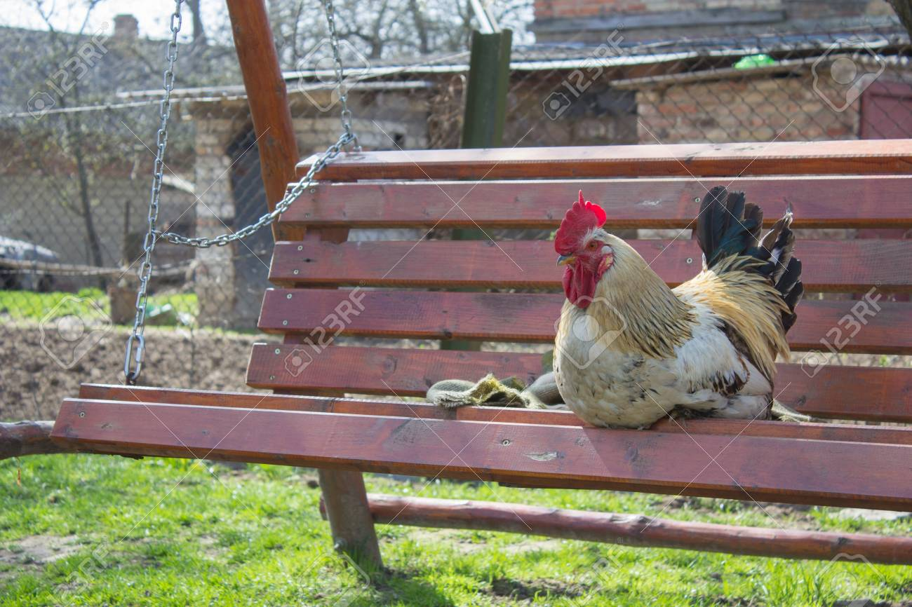 Funny Cock Pics funny cock a rest sitting on a bench