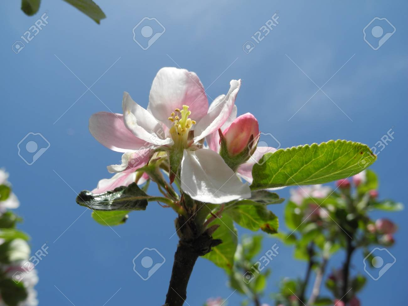 Apple blossoms Stock Photo - 13511219
