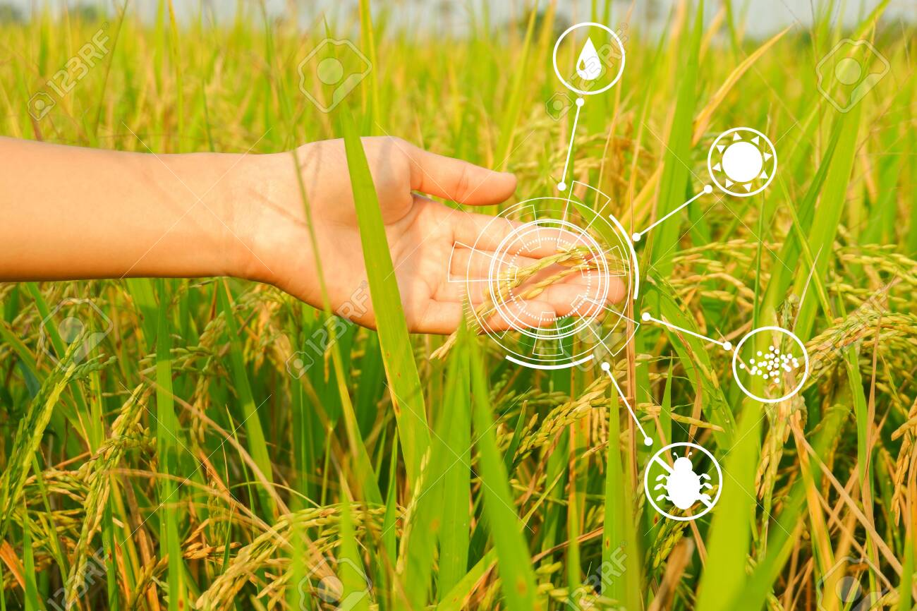 Modern Agriculture Concept Hand Holding Ripe Ears Of Rice And Stock Photo Picture And Royalty Free Image Image 140416120