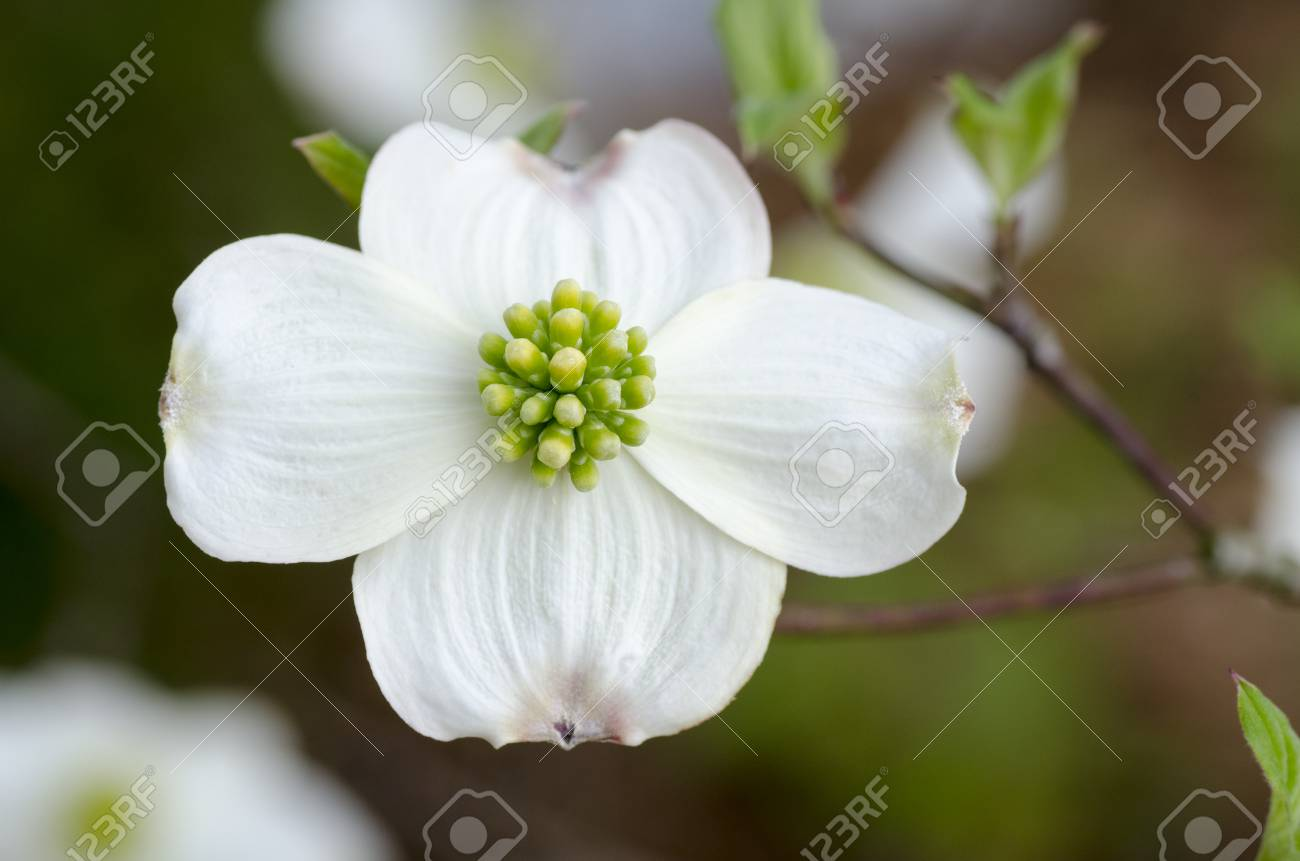 Dogwood Flower White With Green Center And Maybe An Insect Like