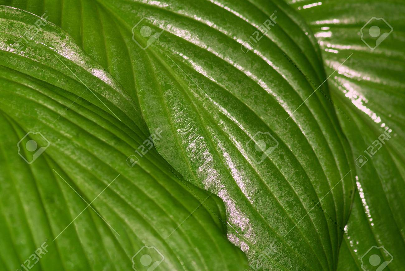The lush, green leaf of a water plant shined by the sun. A close up. Stock Photo - 3435311